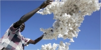 Cotton Production in Zimbabwe Is Likely to Increase by 31 Percent in 2013-14 Season