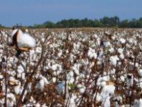 Pak Panel Urges TCP Prefers to Buy Seed Cotton Rather Than Lint