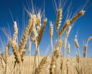 China's September Wheat Imports Double on Year