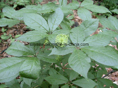 About Siberian Ginseng Extract