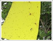insect glued board