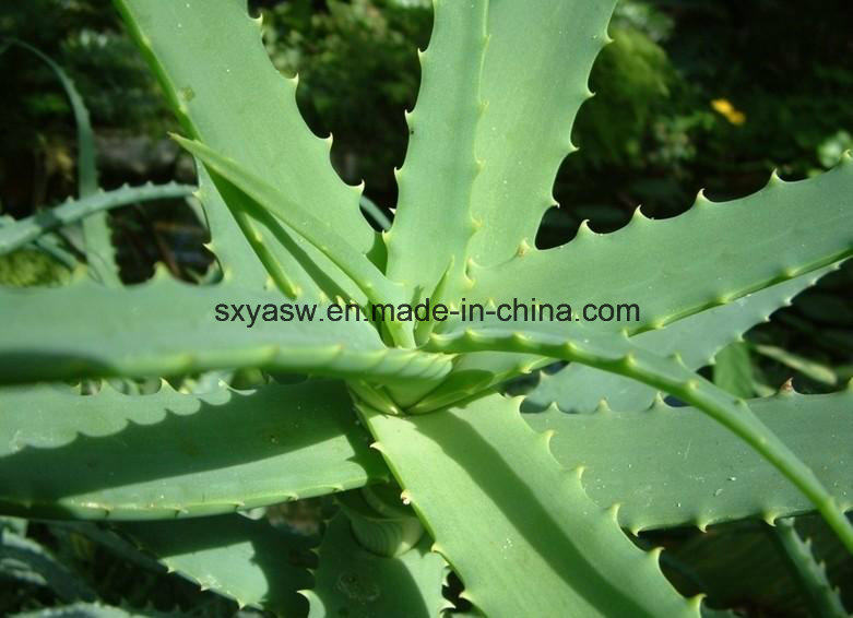 About Aloe Vera Extract