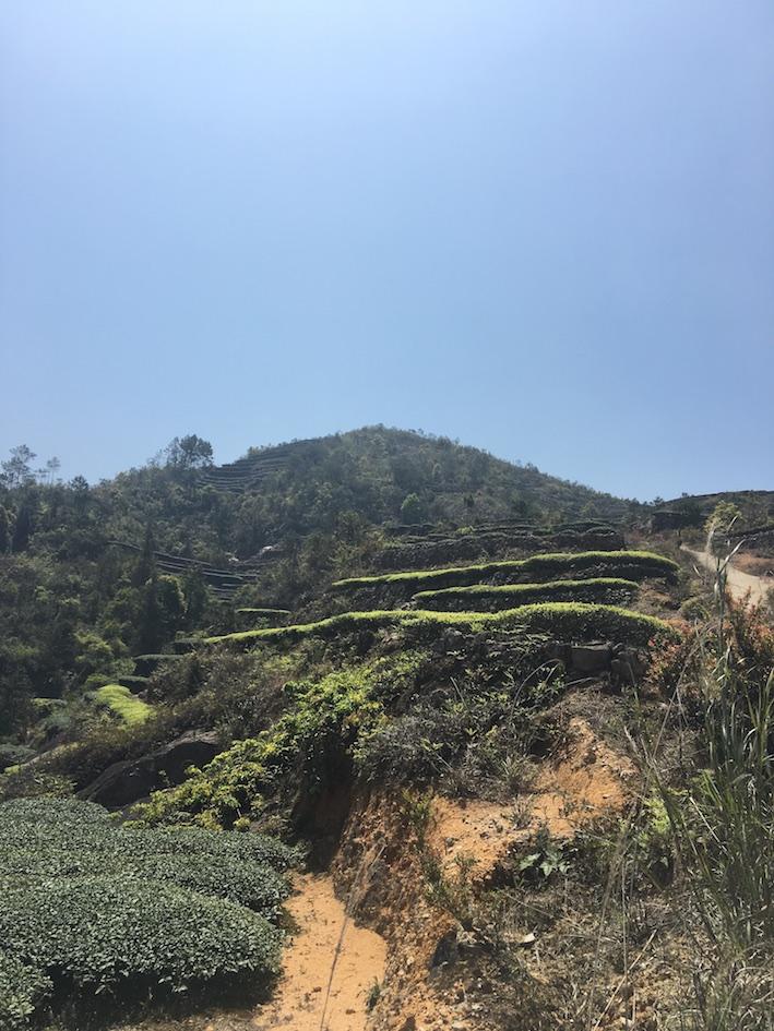 EU Tie Guan Yin Oolong Tea Garden