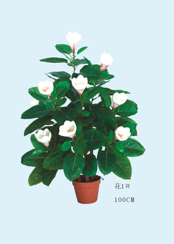 high quality of best selling Magnolia tree