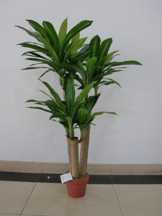 Best selling Dracaena plant different colors