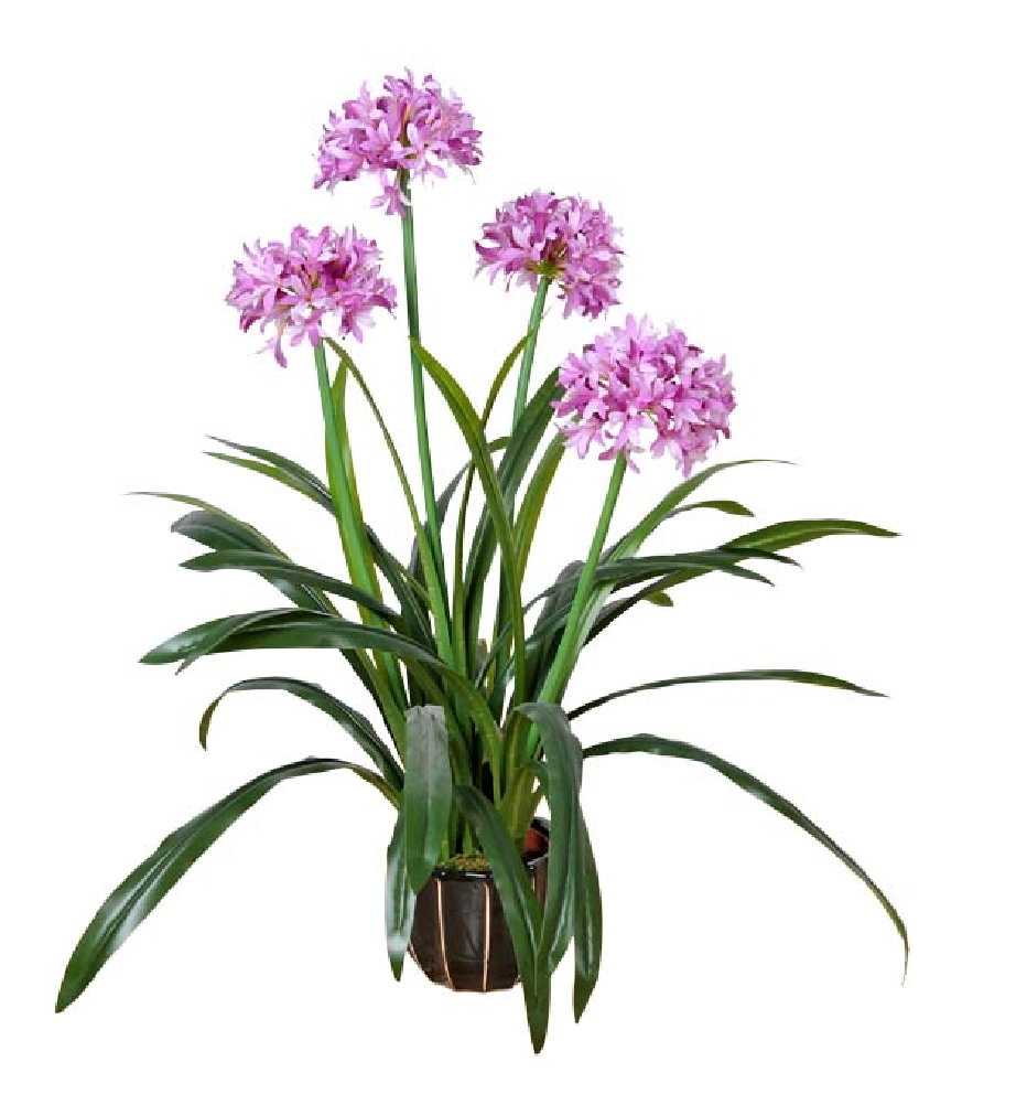 Western Nacissus flowers