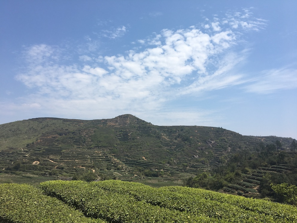 EU Anxi Oolong Tea Garden