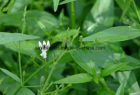 Let Us Talk About Andrographis Paniculata Extract
