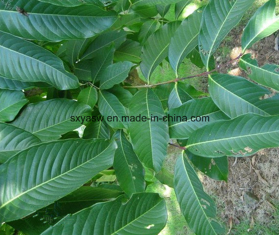 More About Banaba Extract