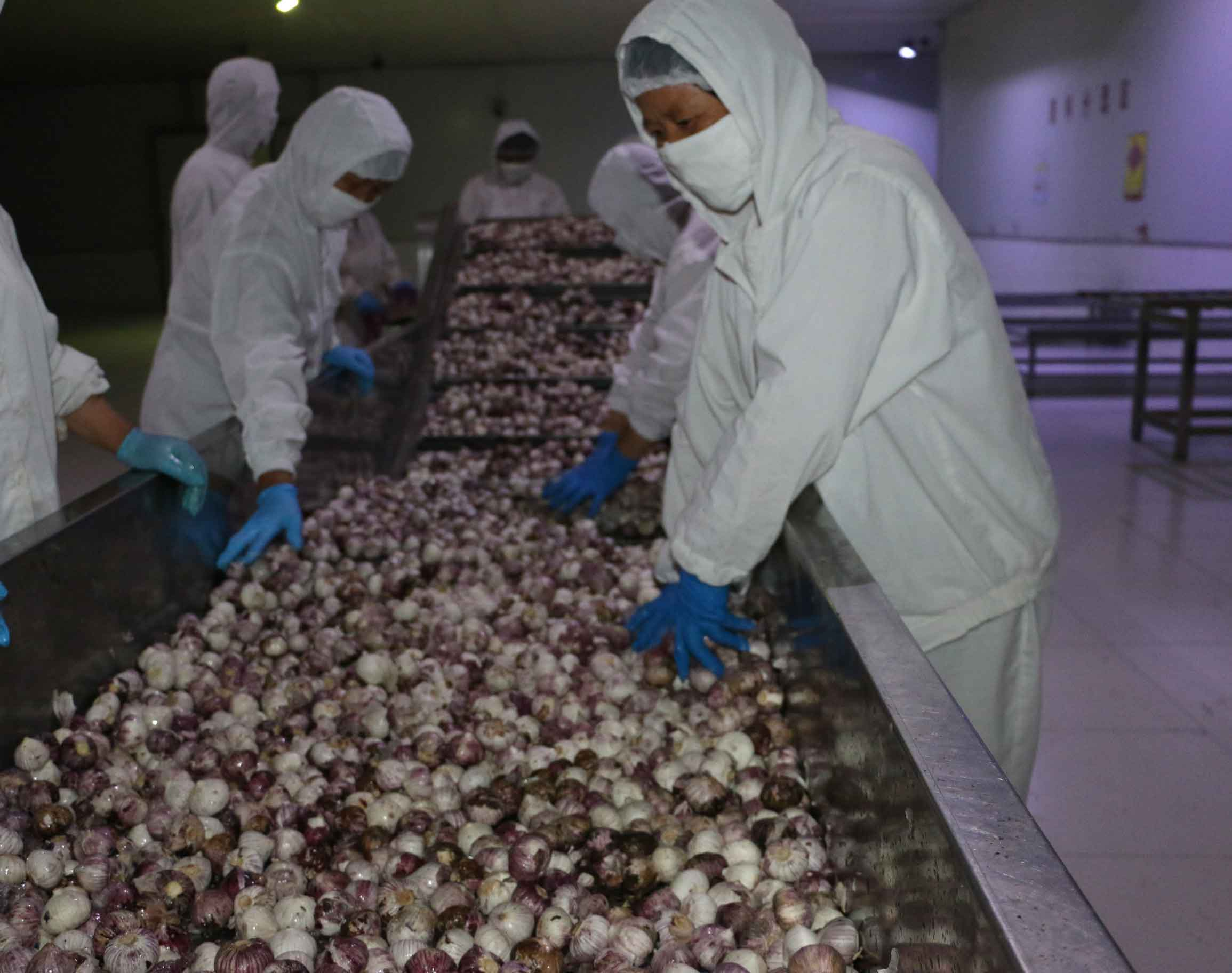 The workers to wash garlic