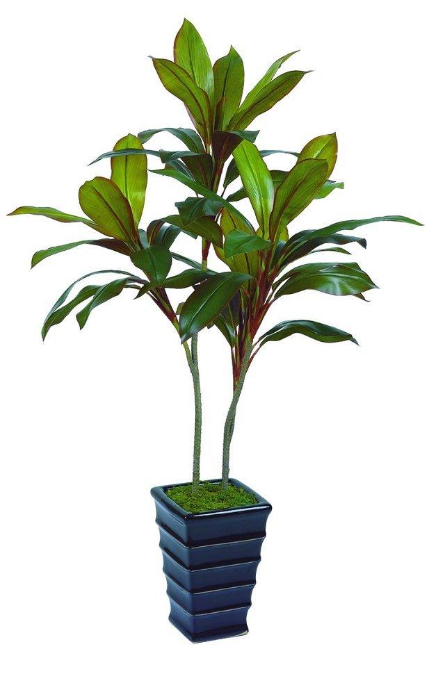 Best selling Autumn Dracaena plant different colors