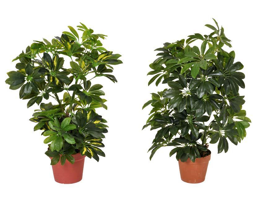 Best selling Schefflerra plant different colors