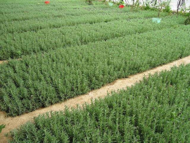 Rosemary Base in Xiangxi,Hunan Province