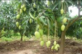 Nicepal Mango Farm