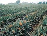 Nicepal Pineapple Farm