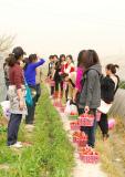 Picking Strawberry - 2