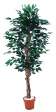 best selling ficus tree 756lvs.