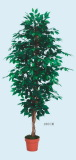 best selling Ficus Tree
