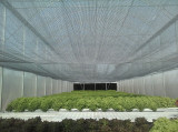 Lettuce Growing System in Paraguay