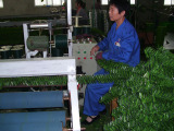 Cutting --- production process of artificial hedge