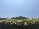 EU Huang Jin Gui Oolong Tea Garden