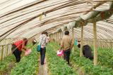 Picking Strawberry - 1
