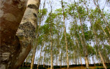 Rubber trees & our factory