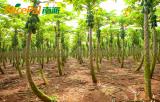 Nicepal Papaya Farm