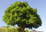 3200 years old tea tree in Yunnan