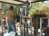 Bucket Milking Machine Installed in El Salvador
