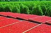 Drying process of wolfberry