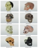 Skull Model of 8 Kinds Ape-Man