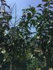 Old tea bush