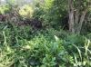 Our tea bush