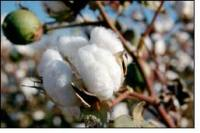 Ugandan Farmers Receive The Help of CMiA to Produce Sustainable Cotton Farming
