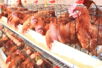 Cargill Considers Investment in Poultry Production in Philippines