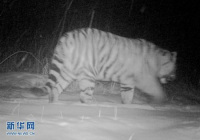Traces of Wild Siberian Tigers Spotted in NE China Forested Area