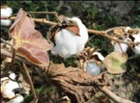 in 2014, Cotton Will Be Sown on 545,000 Hectares of Land in Turkmenistan