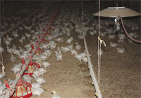 Lighting Significantly Impacts Poultry Production