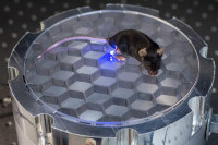 Stanford Scientists Wirelessly Control Mouse with Blue LED Implant