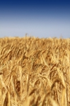 Bunge Files Legal Proceedings Against Egypt's Grain Importing Authority