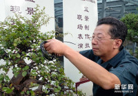 Century-Old Osmanthus Plants on Display at Summer Palace