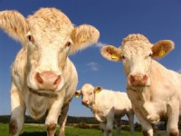 ACCC Launches Market Study Into Cattle and Beef Industry
