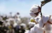 Rainwater Is Harnessed by Peru's ICA for Cotton Production