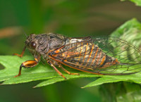 30 Billion to 1 Trillion Bugs Are Participating in a Once-Every-17-Years Mass Emergence